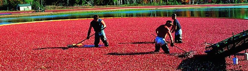 美国蔓越莓